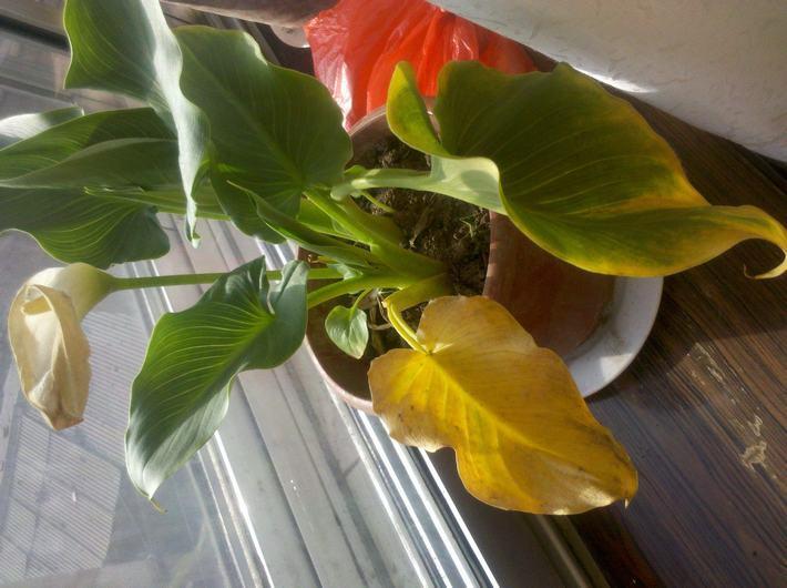 百合叶子发黄图片