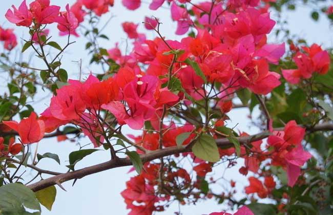 三叶梅为什么不开花_三角梅养殖方法和注意事项:不开花的原因?不开花怎么办 ...