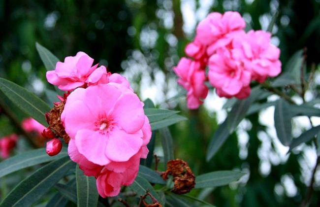 哪些花有毒不宜放室内图片