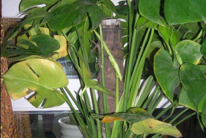 龟背竹叶子发黄怎么补救图片
