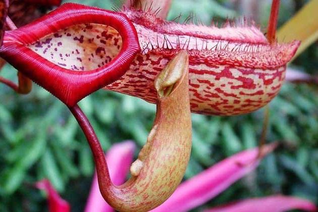 豬籠草爲什麽會吃蟲子?豬籠草是怎麽捕捉獵物