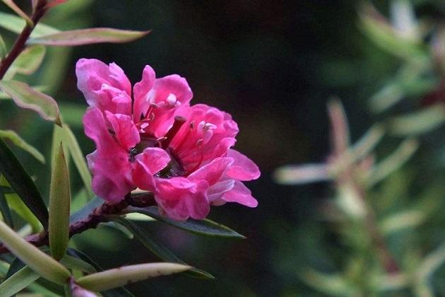 松红梅叶子干枯还能救活吗图片