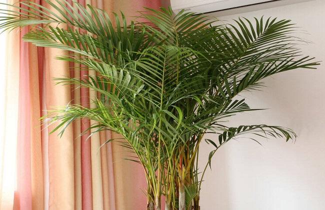 散尾葵叶子发白的方法图片