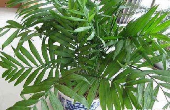 夏威夷椰子叶子干枯黄图片