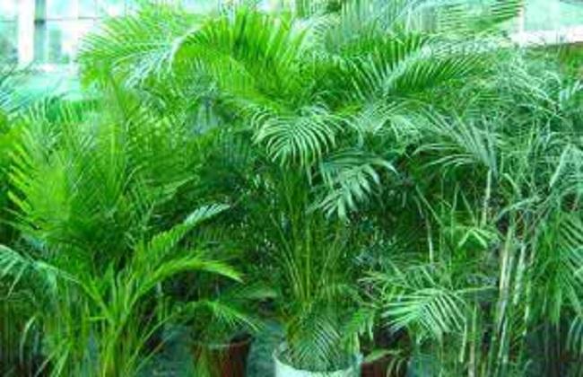 夏威夷椰子叶子发黄干枯图片