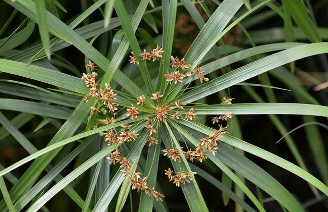 水竹叶子发黄是什么原因图片