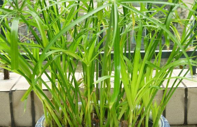 竹子尖发黄什么原因图片