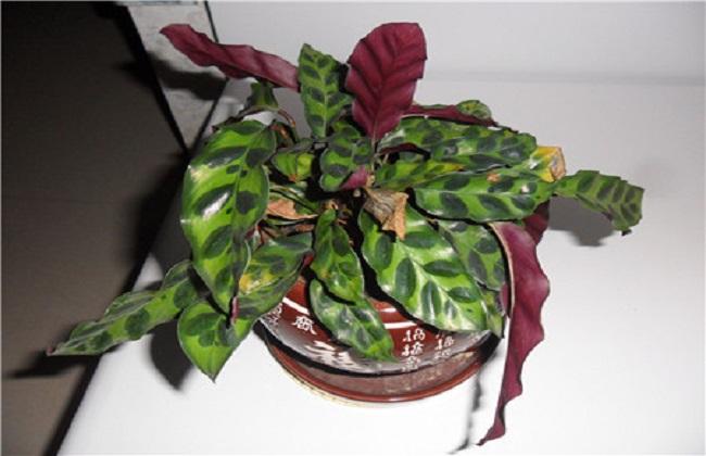 猫眼竹芋叶子发黄生锈图片