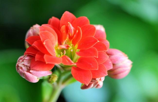 长寿花叶子变红发软图片