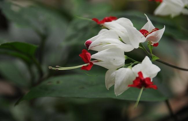 龙吐珠不开花是什么原因图片