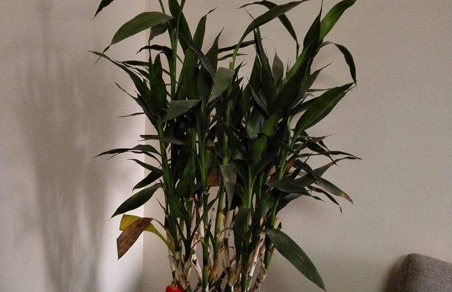 富贵竹叶子耷拉着图片
