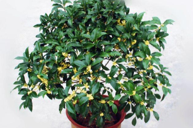 桂花叶子干尖发黄图片