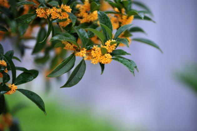 桂花叶子干尖图片