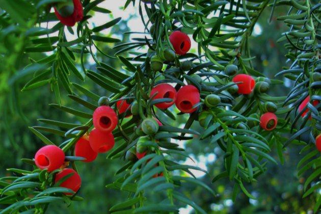 红豆杉掉叶子怎么办图片