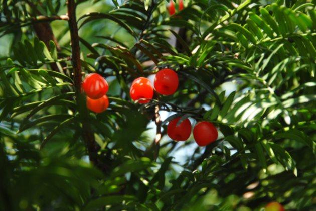 红豆杉掉叶子图片