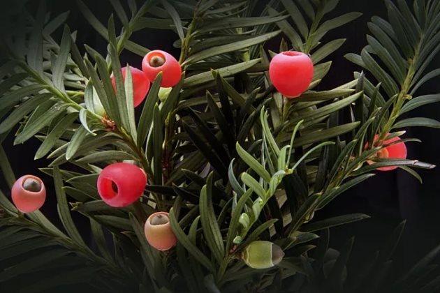 红豆杉烂根照片图片