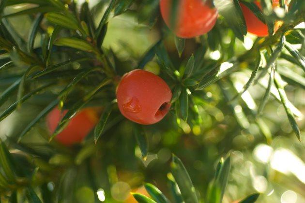 红豆杉烂根有什么表现图片