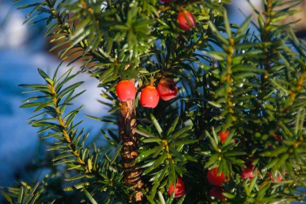 红豆杉烂根症状图片