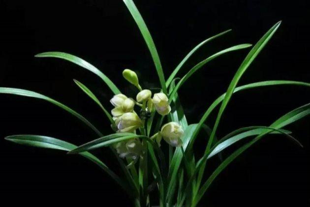 兰花叶子根部变黄干枯图片