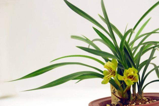 兰花叶子干枯是什么原因引起的图片