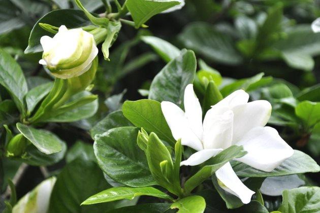 栀子花只有花骨朵不开花图片