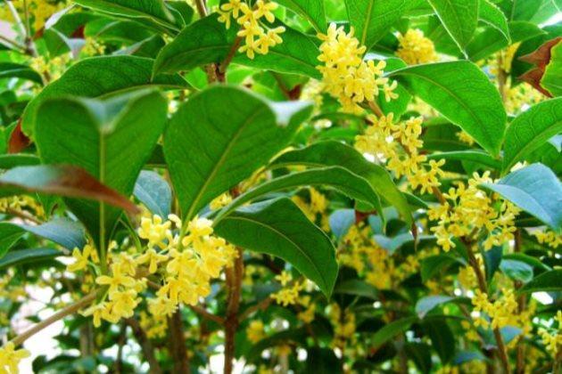 桂花叶子发黄图片