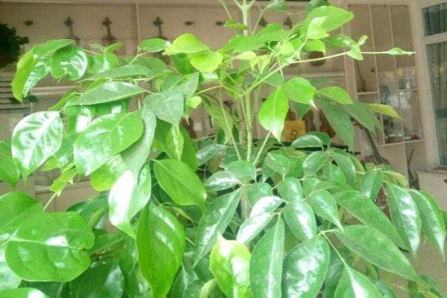 幸福树叶子干枯下垂图片