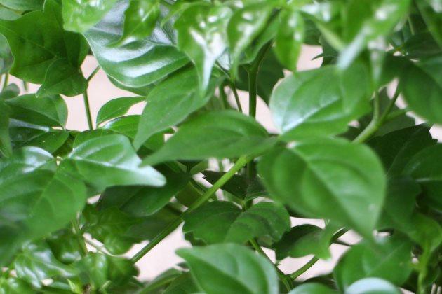 幸福树叶子干枯图片