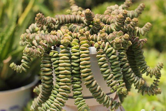 钱串子树叶子发黄怎么办图片