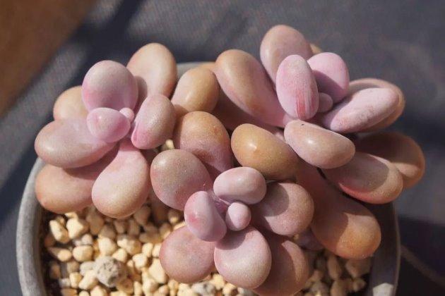 桃蛋多肉的养殖方法图片