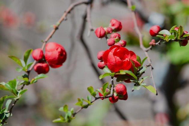 长寿冠海棠的盆栽管理图片
