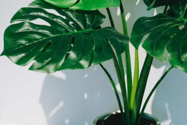 龟背竹叶子发软下垂怎么回事?龟背竹新叶子萎蔫怎么办?
