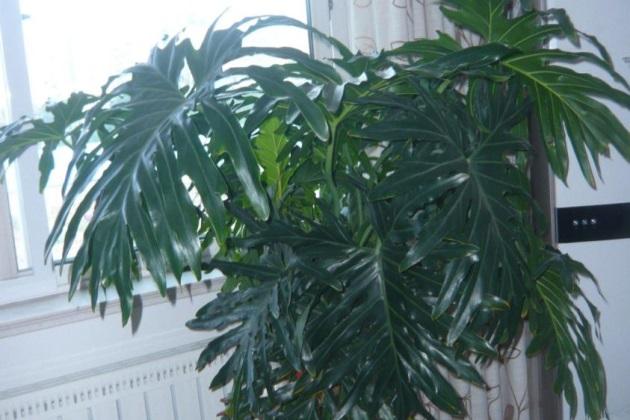 龟背竹换盆后叶子耷拉图片