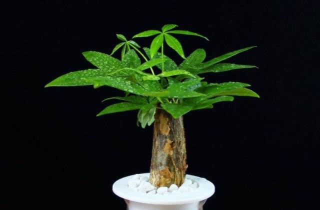 发财树经常掉叶发黄怎么处理