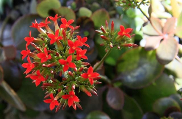 长寿花怎么养才能开花