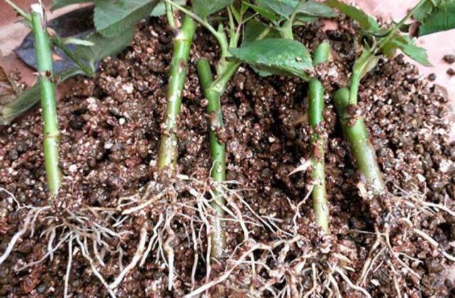 扦插繁殖的方法 植物扦插注意事项