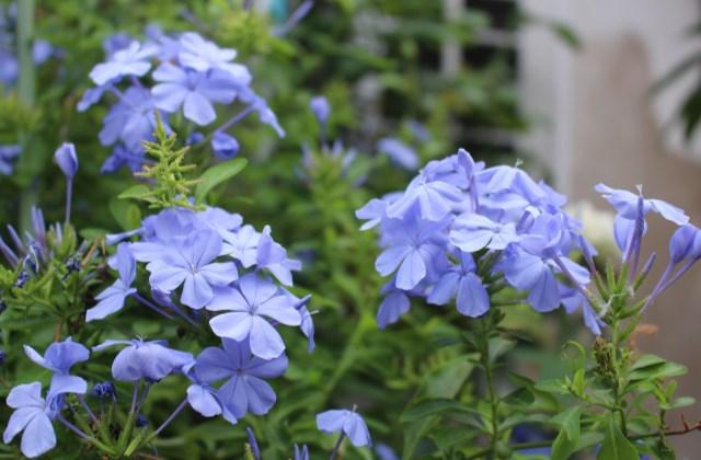 适合在封闭阳台种的日本av视频 适合在阳台种的日本av视频卉有哪